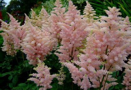 Астильба - красивое многолетнее растение