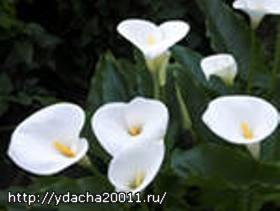 Каллы - выращивание и уход