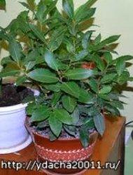 Комнатное растение лавр - выращивание и уход