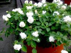 Ванька мокрый цветок белый