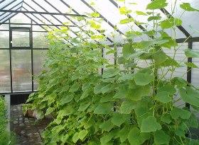 Выращивание огурцов в теплице и в парнике