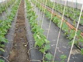 Что можно посадить в теплице из поликарбоната зимой
