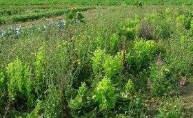 Как использовать сорняки с пользой для огорода
