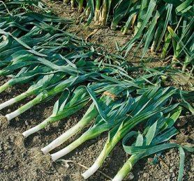 Как правильно выращивать лук-порей