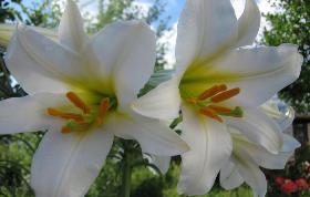 Выращивание лилий и уход за ними