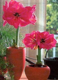 Как заставить гиппеаструм цвести