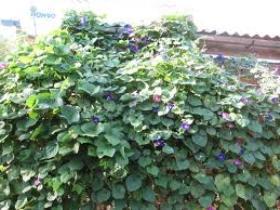 Самые неприхотливые  лианы для вашего сада