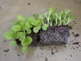 Как вырастить крепкую рассаду капусты