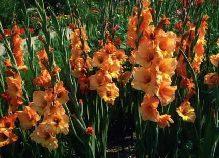 Как правильно выращивать гладиолусы
