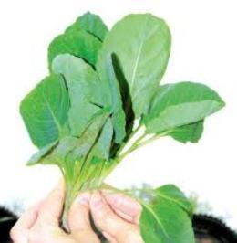 Выращиваем крепкую рассаду капусты