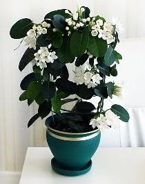 Какие ароматные растения  можно вырастить дома