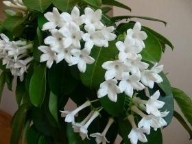 Ароматные растения для дома