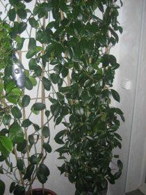 Выращиваем ароматные растения
