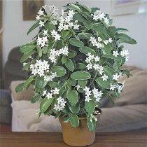 Ароматные растения в вашем доме