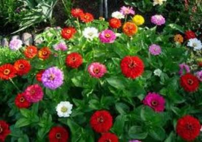 Цинии - особенности выращивания