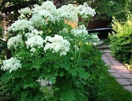 Лабазник в саду