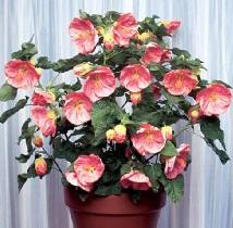 Комнатное растение - клен