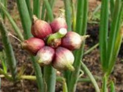 Выращиваем многоярусный лук
