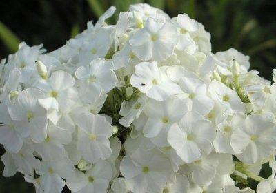 Особенности посадки и выращивания флокса метельчатого