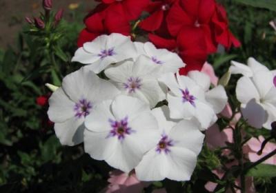 Флокс однолетний - выращивание