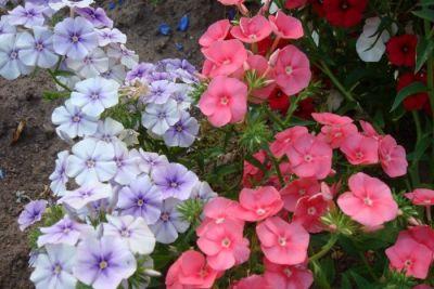 Посадка и выращивание однолетних флоксов
