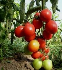 Как правильно получить свои семена помидоров
