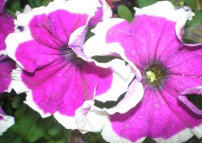Выращивание петуний