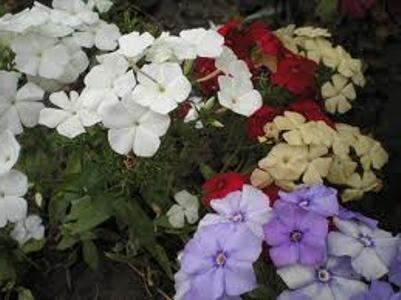Флокс однолетний - посадка и выращивание