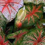 Каладиум - теневыносливое растение