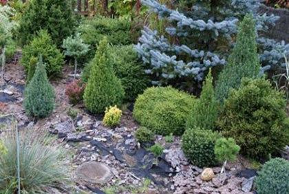 Уход за хвойными растениями в саду