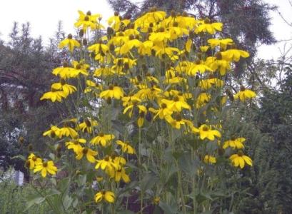 Рудбекия глянцевитая  для вашего сада