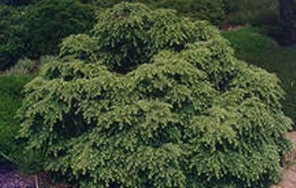 Выращивание хвойных растений в саду