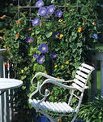 Выращивание вьющихся растений на балконе