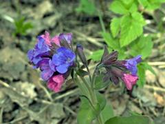 Медуница - растение для тенистого сада