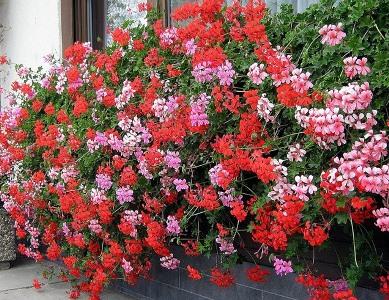 Особенности выращивания плющелистный пеларгоний