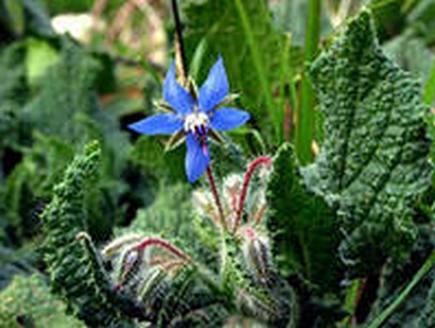 Выращивание и применение огуречной травы