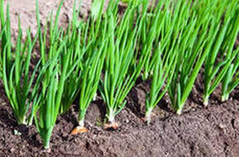 Выращиваем лук-репку из семян