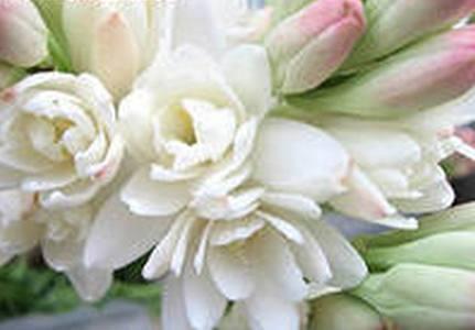 Тубероза - незаслуженно забытый цветок