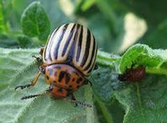 """Как избавиться от колорадского жука без """"химии"""""""