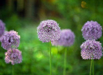 Как подобрать цветы для непрерывного цветения на клумбе