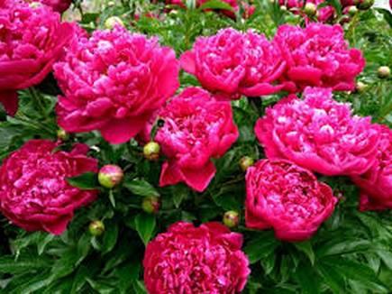 Как сделать непрерывно цветущую клумбу июня