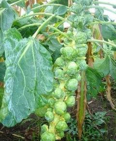 Целебные свойства брюссельской капусты