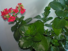 Каланхоэ - выращивание и уход