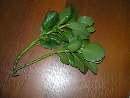 Как выращивать каланхоэ
