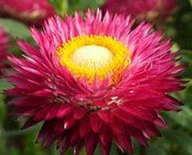Сухоцветы для вашего сада