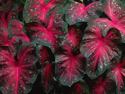Каладиум - как правильно ухаживать за растением
