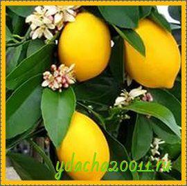 Как в домашних условиях вырастить лимонное дерево
