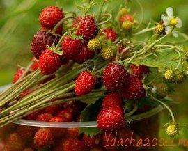 Полезные свойства лесных ягод