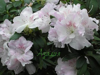 Красивоцветущее растения - азалия