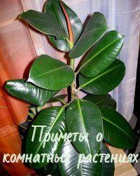 Народные приметы, связанные с комнатными растениями